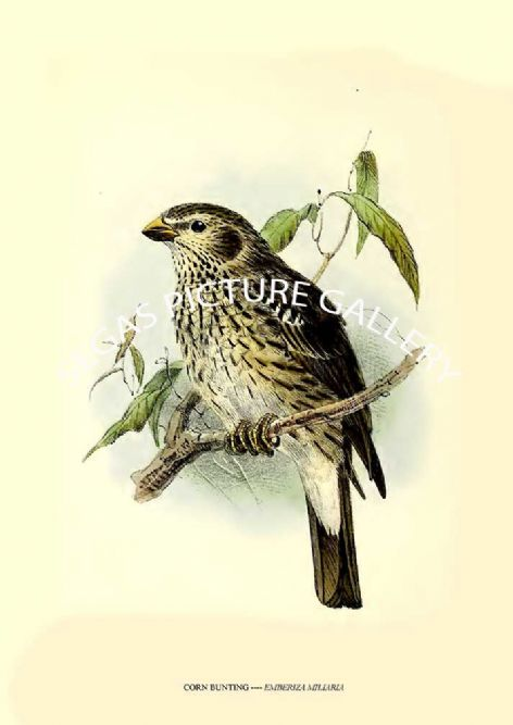 Fine art print of the CORN BUNTING ---- EMBERIZA MILIARIA by J G Keulemans (1869-76)